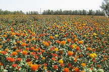400 هکتار از زمین های کشاورزی ابهر به کشت گلرنگ اختصاص یافت