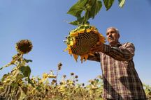 ۵۵ هزار تن تخمه از مزارع آذربایجانغربی برداشت میشود