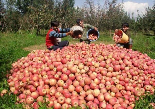 امسال 75هزار تن میوه ازباغات بروجرد برداشت می شود