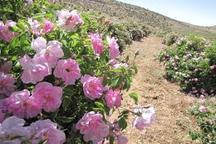 مطالعات کاشت گل محمدی در ارومیه آغاز شد