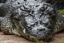 سرگردانی یک تمساح در منطقه سرباز سیستان و بلوچستان