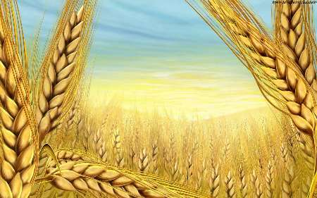 طرح ترویجی ایکاردا تضمین کننده تولید غلات در کردستان است
