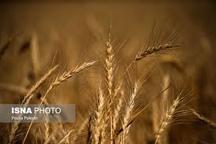 خرید بیش از 100 هزار تن گندم از گندمکاران لرستان