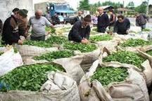 کاهش 20 درصدی محصول برگ سبز چای باغ های کشور