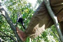 مرد همدانی بر اثر سقوط از درخت گردو جان باخت