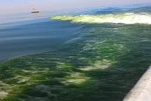 شکوفایی جلبکی 'نوکتی لیکا' بی خطر است