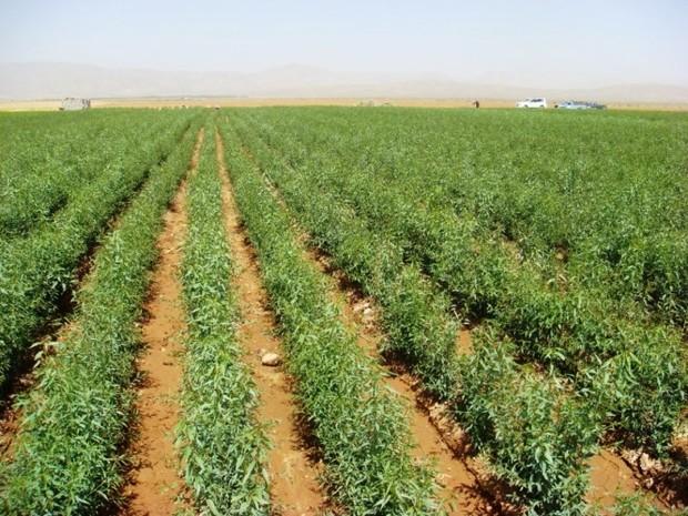 سطح زیر کشت اراضی کشاورزی دره شهر به 14 هزار هکتار رسید