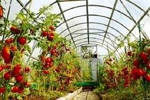 هشت هزار و 100 تن محصولات گلخانهای در قزوین تولید می شود