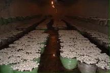 صادرات قارچ دکمه ای از چهارمحال وبختیاری به عراق و کویت