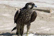 یک بهله پرنده شکاری درعسلویه کشف شد