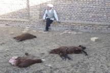 روستاییان گنابادی خواستار حمایت در برابر هجوم گرگها شدند