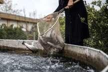 توسعه مزارع پرورش ماهی در همدان 46 درصد رشد داشته است