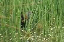 مشاهده یک گونه پرنده کمیاب در تالاب گندمان چهارمحال و بختیاری