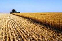 میزان تولید گندم امسال در استان سمنان 111 هزار تن پیشبینی شد