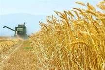 پیش بینی برداشت بیش از 2 هزار تن گندم از مزرعه های بادرود