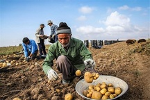 تردید سیب زمینی کاران خراسان شمالی در برداشت محصول