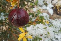 سرما 90 درصد باغ های انار بادرود را نابود کرد