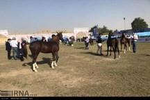 جشنواره  زیبایی اسب عرب خالص ایرانی در شوشتر آغاز شد