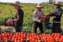 دولت با چراغ سبز صادرات ناجی گوجه کاران شد