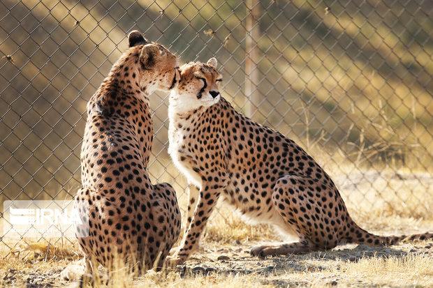 پستانداران وحشی کرمانشاه شمارش میشوند