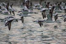 کوچ پرندگان مهاجر به هرمزگان آغاز شد