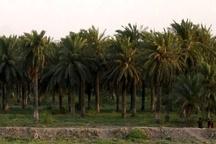 مقابله با کنه گرد آلود خرما در نخلستان های شادگان