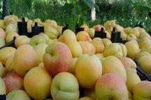 ۴۸۰۰ تن زردآلو از باغهای دامغان برداشت شد