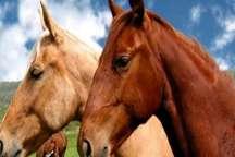 آذربایجان شرقی دو مقام برتر جشنواره زیبایی اسب اصیل ترکمن را کسب کرد