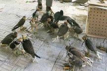 83 بهله پرنده شکاری قاچاق در بوشهر کشف شد