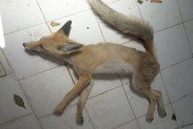 نجات یک قلاده روباه در عجبشیر