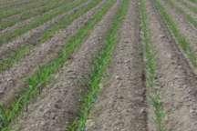 اختصاص100 هکتار از اراضی کشاورزی ابرکوه بهکشت گیاهان دارویی