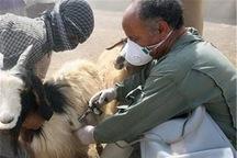 بیش از 197 هزار راس دام در ماکو واکسینه شدند