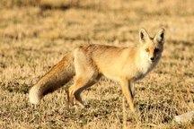 یک قلاده روباه در جیرفت شکار شد