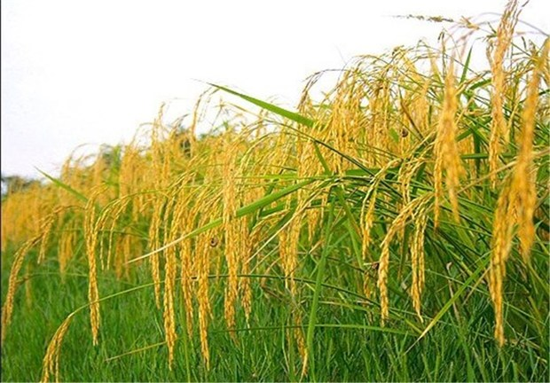 نخستین خوشه های برنج در مازندران به بار نشست