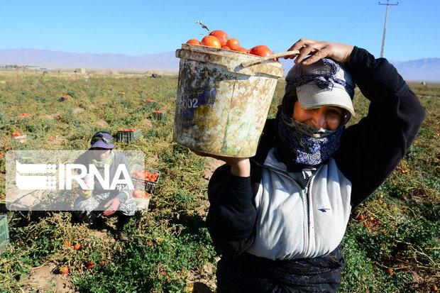 ۹۷ هزار همدانی زیر پوشش بیمه اجتماعی کشاورزان هستند