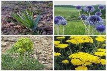 تولید سالانه 5700 تن انواع گیاه دارویی در آذربایجان غربی
