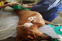 مرحله نخست عقیمسازی سگهای ولگرد در خرمشهر اجرا شد