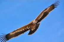 سه پرنده شکاری در زیستگاه های استان اصفهان رها شدند