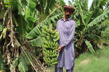 95 هزار تن موز در سیستان و بلوچستان تولید شد