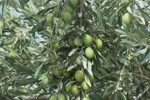 معاون جهاد کشاورزی:800 هکتار باغ در کهگیلویه و بویراحمد احداث شد