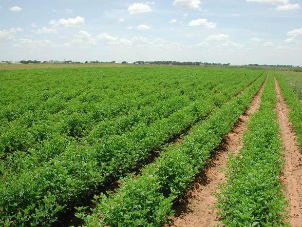 کشاورزی قم به سمت تغییر الگوی کشت پیش می رود