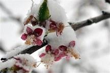 داغ سرمای بهاره بر دل کشاورزان خراسانی