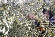 جوان سازی باغهای زیتون قزوین در حال اجراست