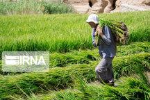 سنگینی سایه سرمای زودرس بر کشت دوم برنج در مازندران