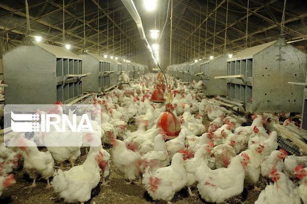 یک شرکت تعاونی مرغداران متخلف محکوم شد