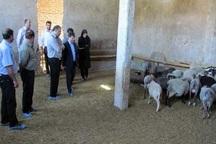 پرورش نژاد خالص گوسفند رومانف در آذرشهر