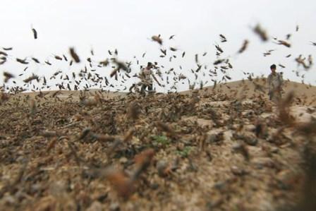 خسارت 60 میلیارد ریالی ملخ ها به مزارع شهرستان کوهرنگ