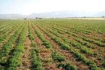 کشت گیاهان دارویی و صنعتی در 9 هکتار از اراضی مرتعی شهرستان ملارد