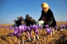 سطح کشت زعفران در تایباد افزایش یافت
