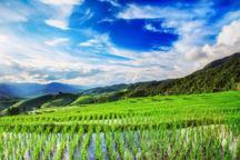 کشت دیرهنگام برنج در بن بست طغیان آفت